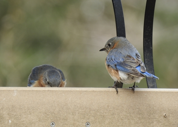 Two Female Eastern Bluebirds