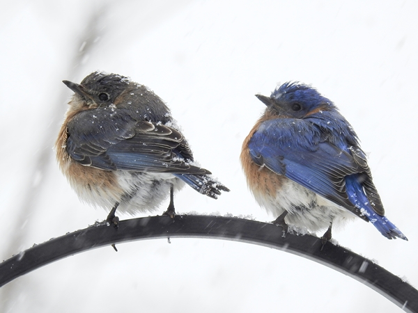 Eastern Bluebird Pair on Shepherd's Hook During Snow Storm