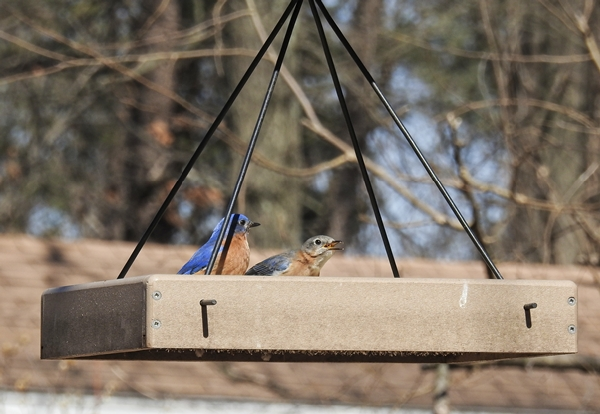 Male and Female Eastern Bluebirds Eating Dried Mealworms
