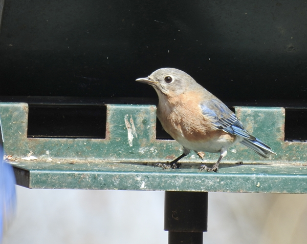 Female Eastern Bluebird on the Old Metal Hopper Feeder