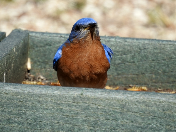 Male Eastern Bluebird Eating Mealworms in Ground Feeder