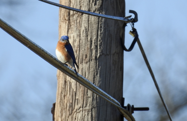 Male Eastern Bluebird on a Power Line