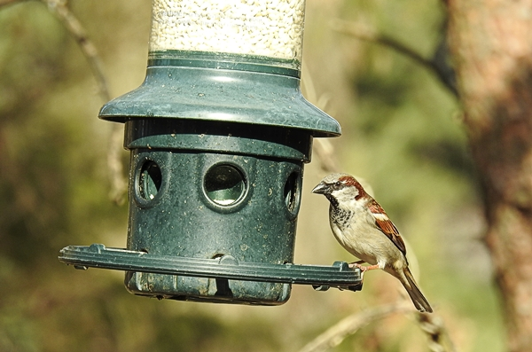 Male House Sparrow on Squirrel Buster Plus Feeder
