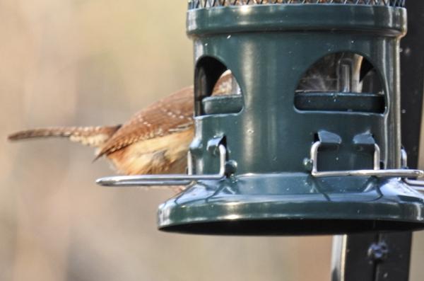 A Carolina Wren Grabs a Dried Mealworm