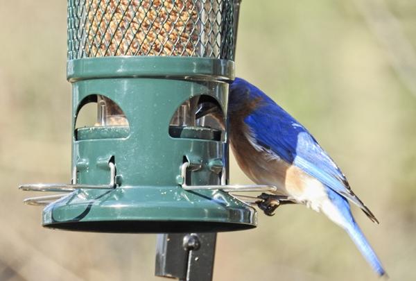 Male Eastern Bluebird Getting a Dried Mealworm