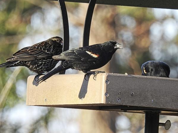 Red-Winged Blackbirds Eating Safflower in a Platform Feeder