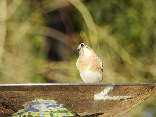 Female Eastern Bluebird on the Birdbath