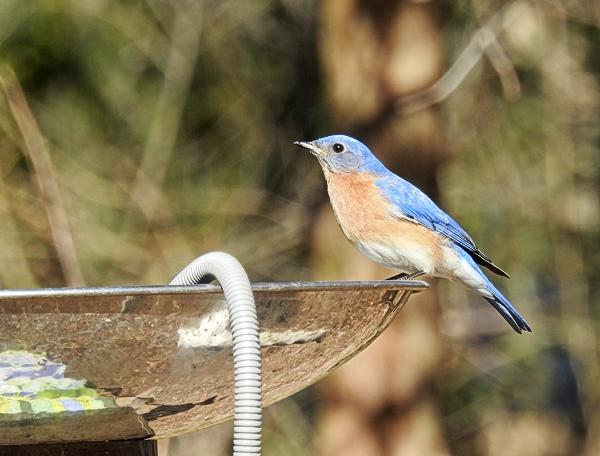Male Eastern Bluebird on the Birdbath