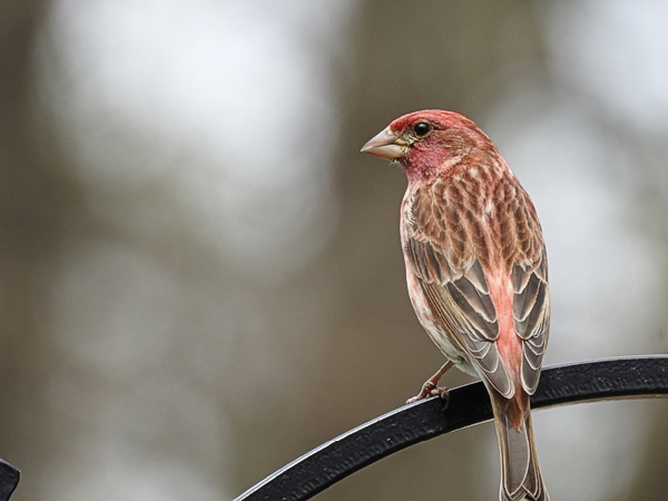 Watching a Purple Finch Watching Me