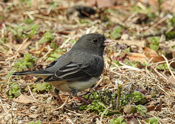 Spring Dark-Eyed Junco