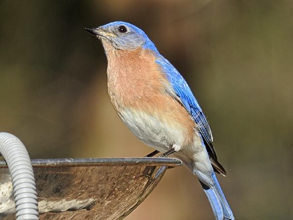 Eastern Bluebird on One of the Birdbaths