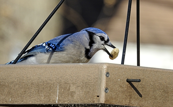 A Blue Jay Grabs a Peanut From the Hanging Platform Feeder