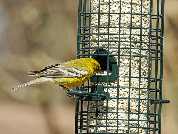 Pine Warbler on the Squirrel Buster Classic Feeder