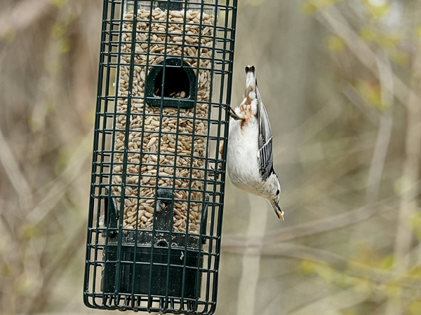 White-Breasted Nuthatch on the Squirrel Buster Classic