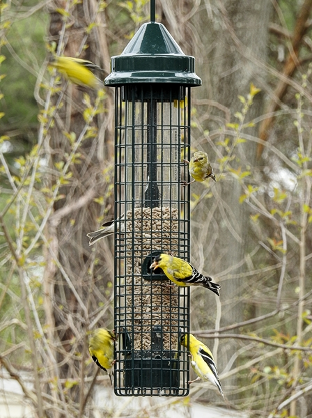 American Goldfinches on Squirrel Buster Classic Feeder