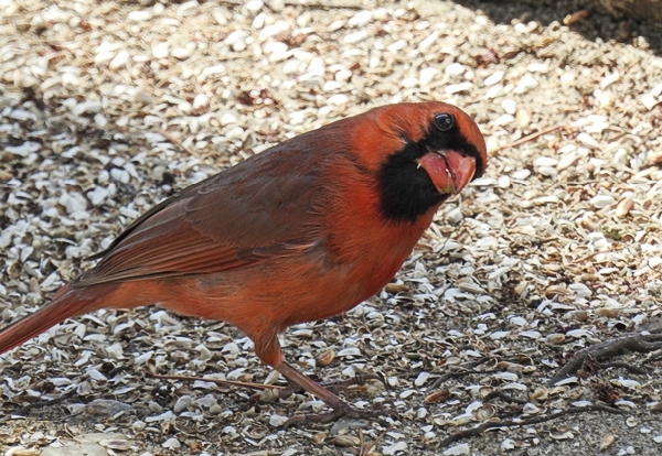 Northern Cardinal Considers Seeds on the Ground