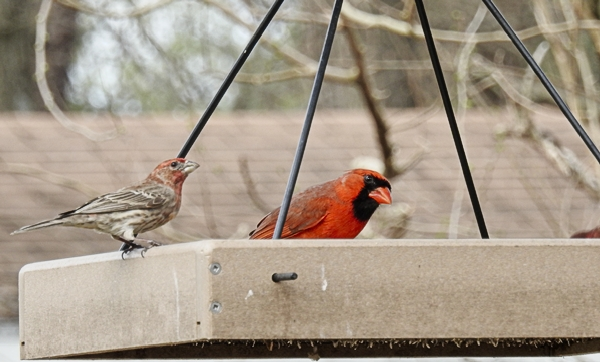 House Finch and Northern Cardinal on the Hanging Platform Feeder
