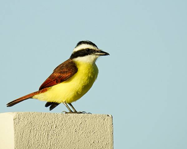 Great Kiskadee in Tulum Mexico