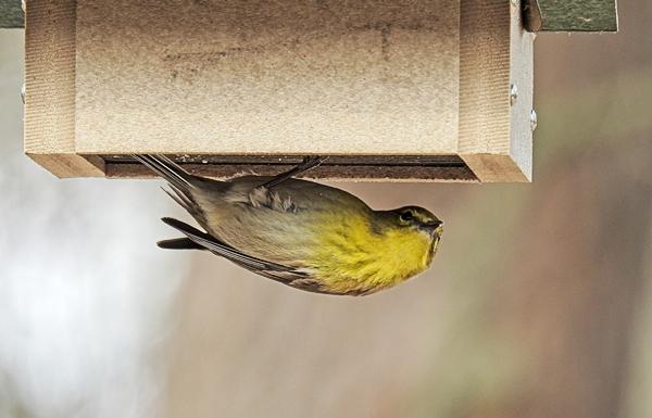 Pine Warbler on Upside-Down Suet Feeder