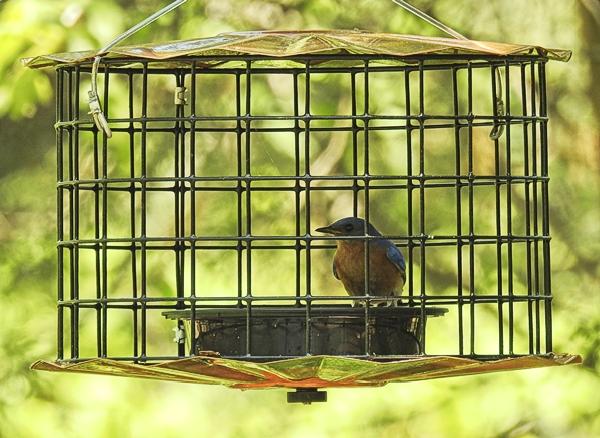 Eastern Bluebird in Adjusted Erva Starling Proof Mealworm Feeder