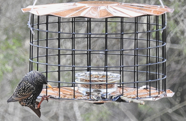 European Starling Grabbing Mealworms From the Edges of the Feeder