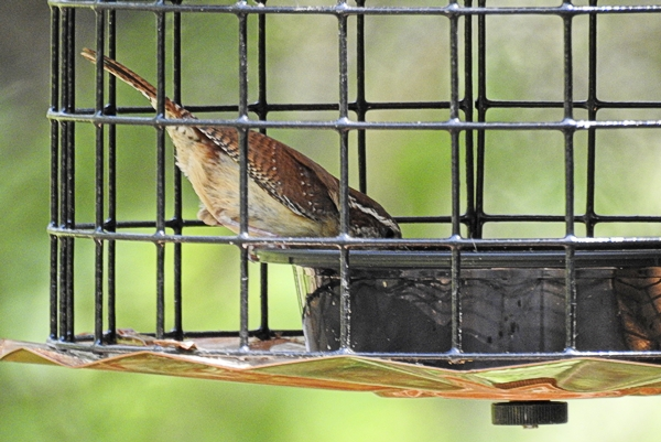 Carolina Wren Eating Mealworms From the Carryout Container