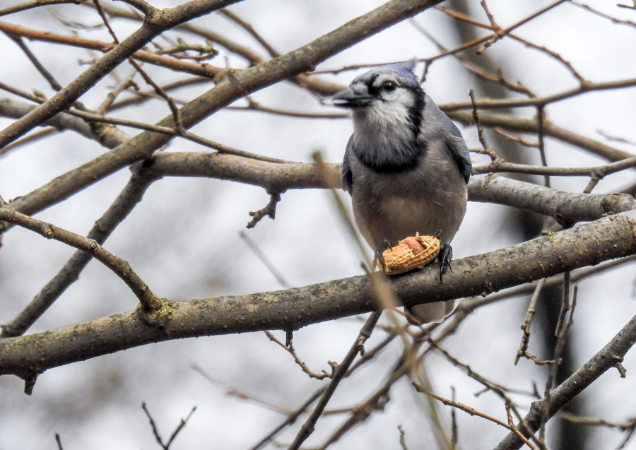 Blue Jay Eating a Peanut
