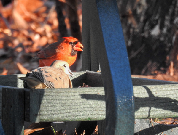 Cardinal and Mourning Dove Eating