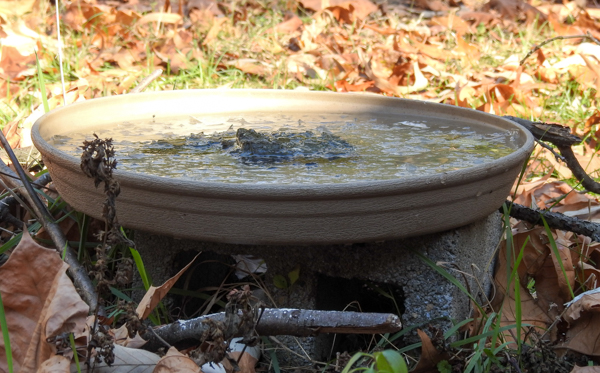 Plastic Plant Saucer Used as Birdbath (Getting Icy Without a Heater!)