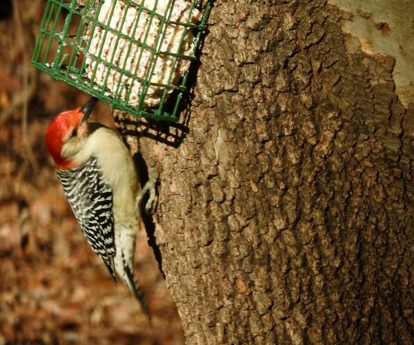 Red-Bellied Woopecker On Suet (Male)