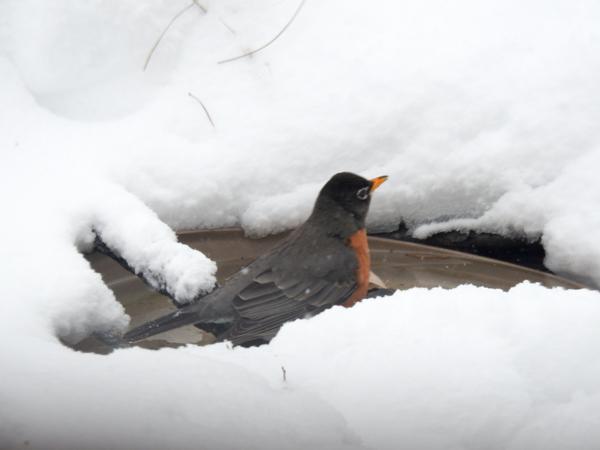 Robin in Heated Birdbath in the Snow