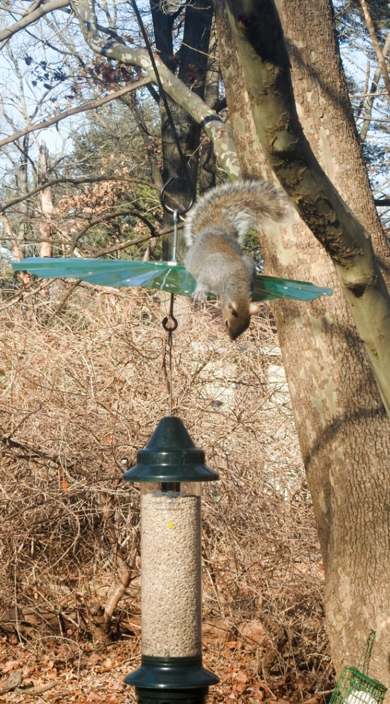 Squirrel on Baffle peering down at feeder.