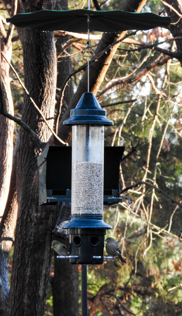 American Goldfinch and Female House Sparrow on Squirrel Buster Plus Feeder with Baffle Added