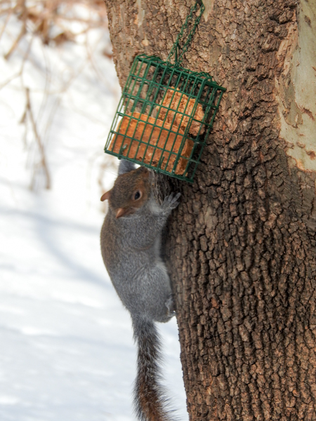 Squirrel Eating Hot Pepper Suet