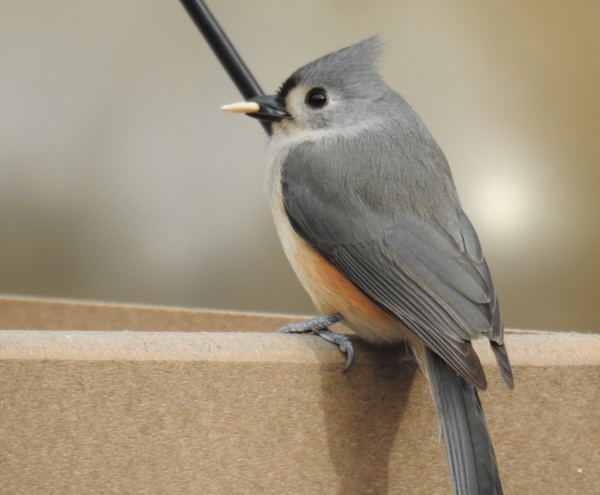 Tufted Titmouse Eating Seed