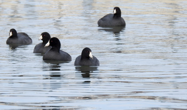 American Coots seen near the dock while birding at Black Hill Regional Park