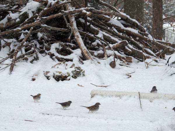Dark-Eyed Juncos and White-Throated Sparrows Near Brush Pile