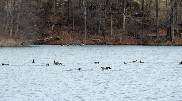 Canada Geese on Little Seneca Lake at Black Hill Regional Park