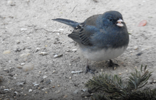 I Put Out A Little Millet for Birds Like the Dark-Eyed Juncos