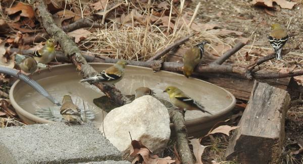 American Goldfinches at Heated Birdbath