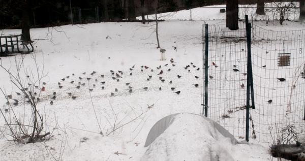 Mixed Flock of Birds Eating Seed Broadcast over Snow