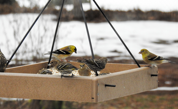 Pine Siskins and Goldfinches Eating Sunflower Hearts at a Hanging Platform Feeder