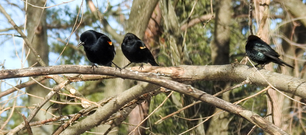Red-Winged Blackbirds and a European Starling