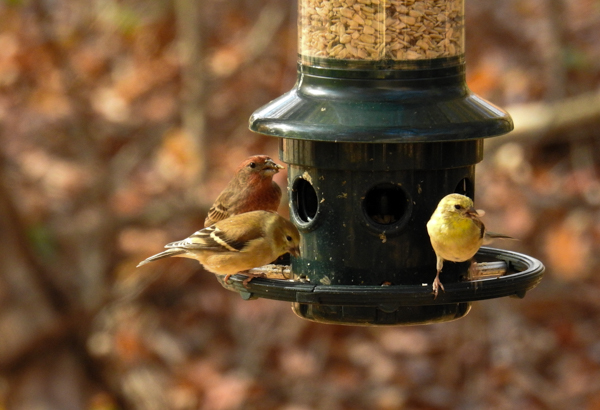 Birds on Squirrel Buster Plus Bird Feeder