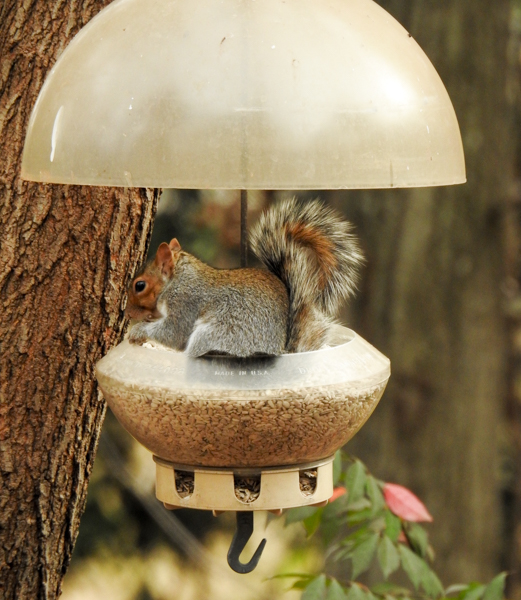 Squirrel in his feeder