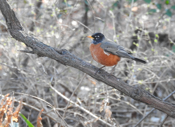 Amercian Robins Overwinter in Our Area