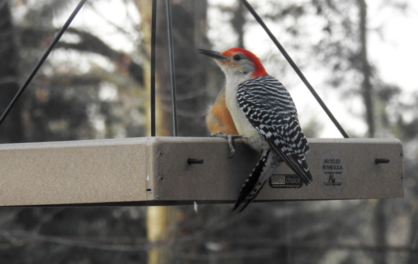 Red-Bellied Woodpecker (and Cardinal Behind) Eating at Hanging Platform Feeder