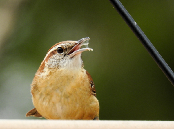 Carolina Wren at the Bird Feeder