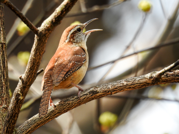 Carolina Wren Singing