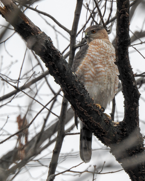 Cooper's Hawk in a Tree.  Rounded Tail and Capped Head.